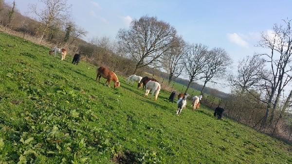 Les poneys au paddock